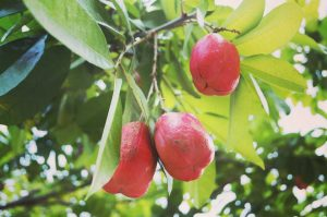 Ackee Tree grow through Jamaica and bear fruit twice per year